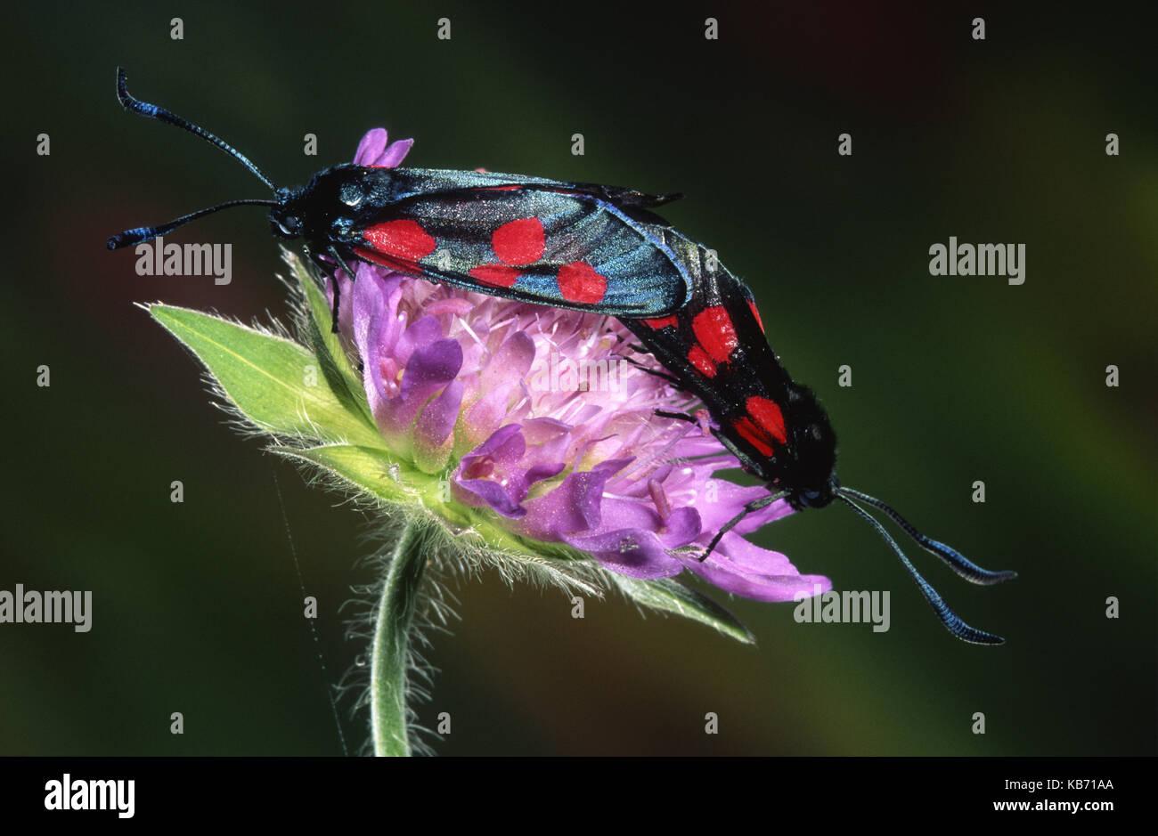 New Forest Burnet (Zygaena viciae) couple mating on flower, Belgium - Stock Image