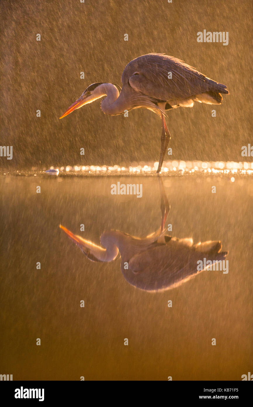 Grey Heron (Ardea cinerea)in a night rainstorm, Hungary, Bacs-kiskun,  Kiskunsagi National Park - Stock Image