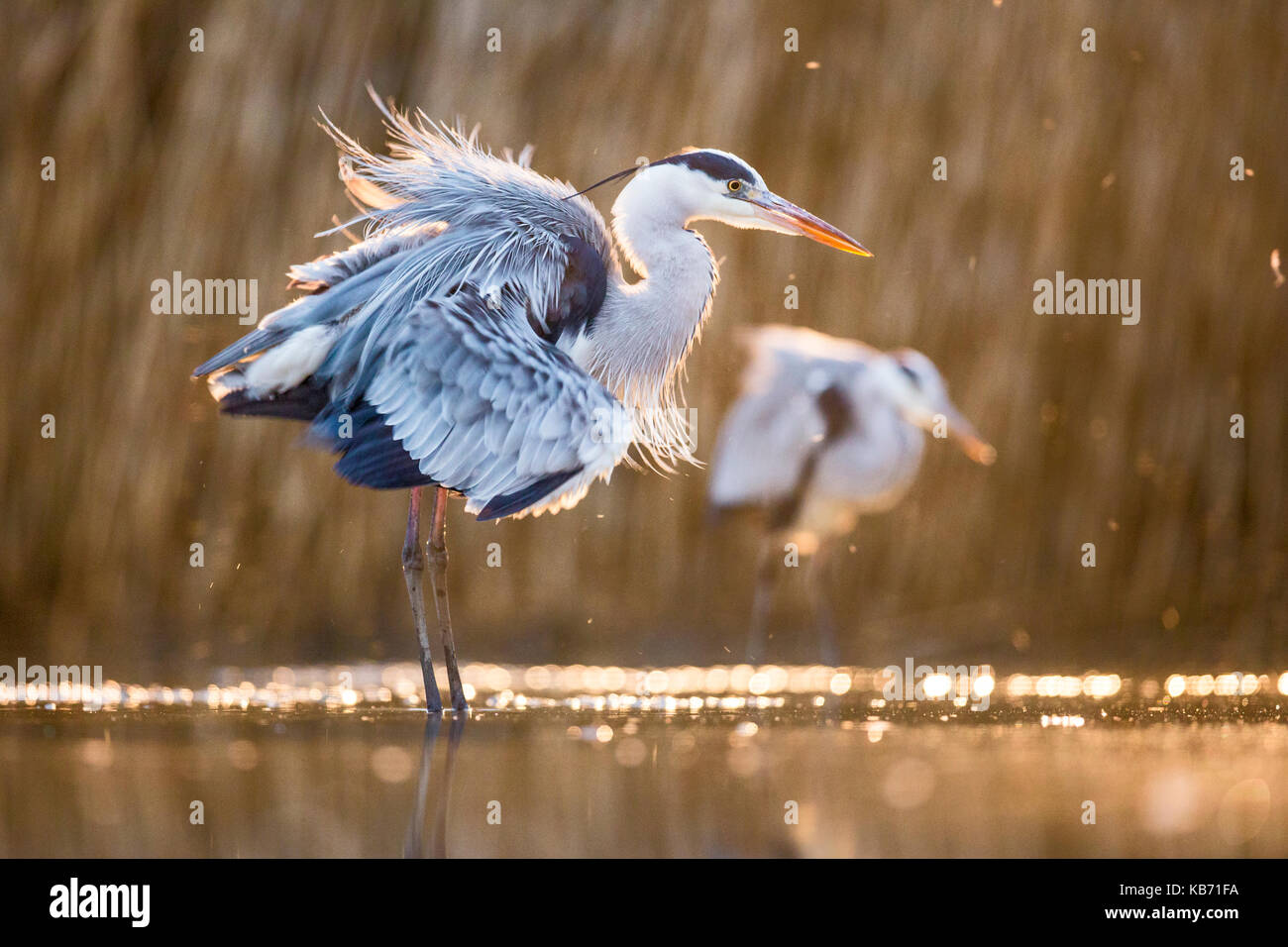 Grey Herons (Ardea cinerea) preening in late afternoon light, Hungary, Bacs-kiskun, Kiskunsagi National Park - Stock Image
