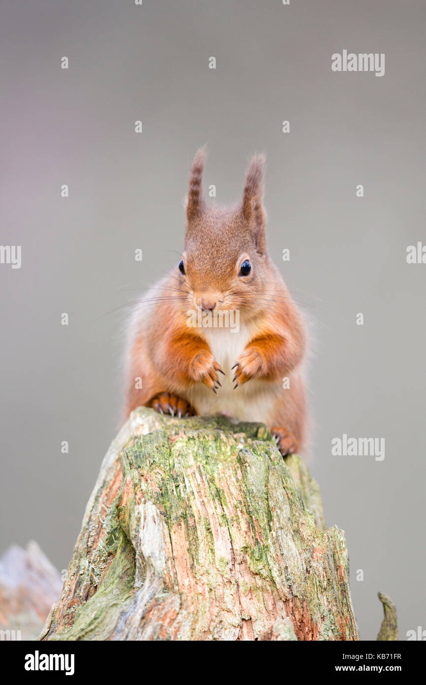 Eurasian Red Squirrel (Sciurus vulgaris) on a tree stump, Scotland, Inverness Shire, Cairngorms National Park - Stock Image