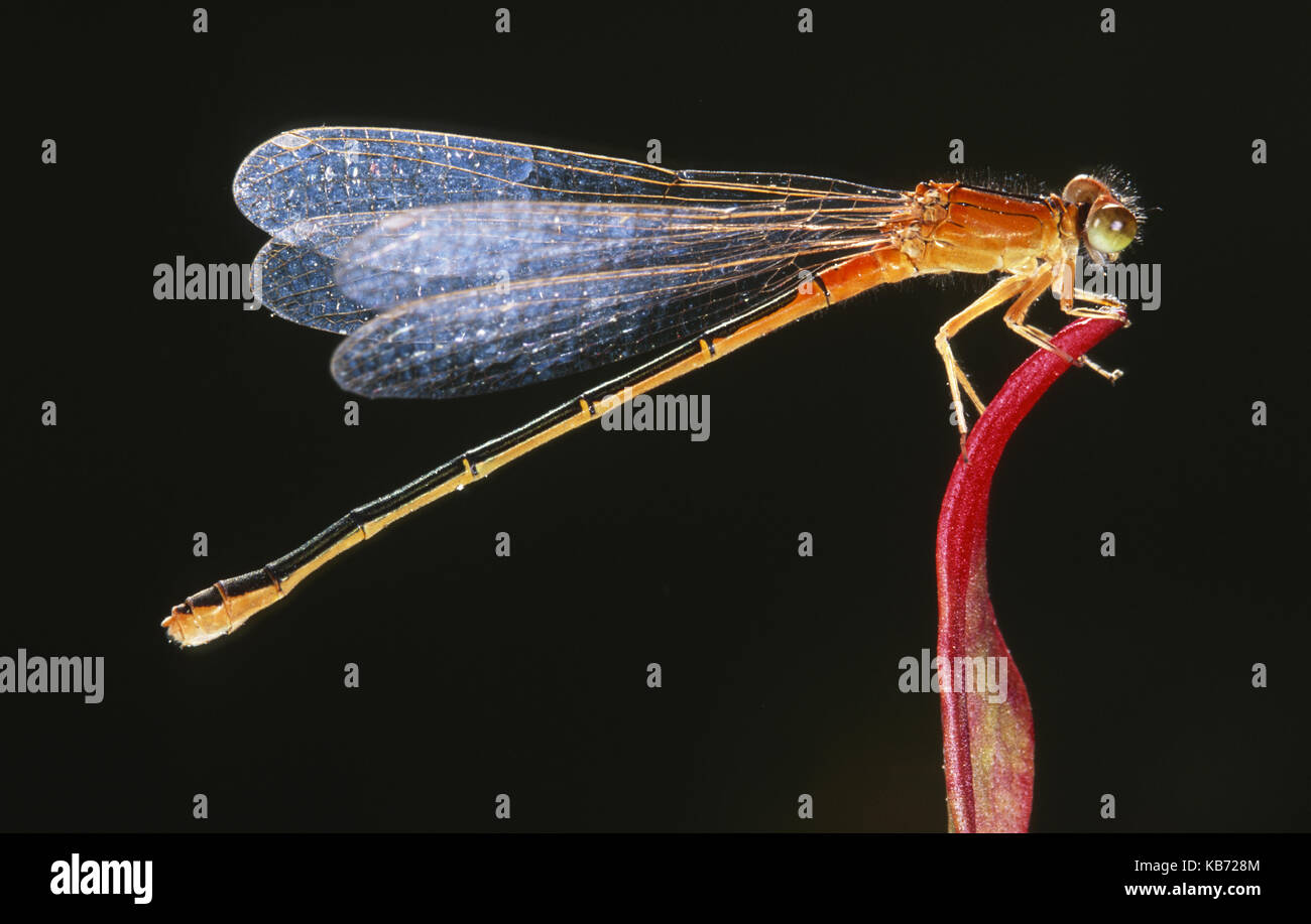 Large Red Damselfly (Pyrrhosoma nymphula) resting on top of a plant, Belgium - Stock Image