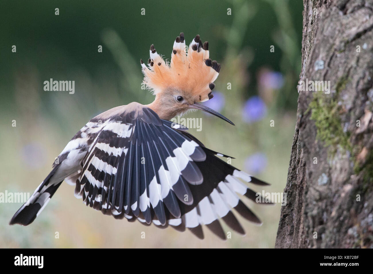 Euarasian Hoopoe (Upupa epops) flying back to nest site, Hungary, Bekes, Koros-Maros National Park - Stock Image