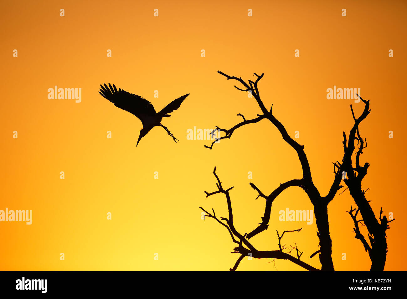 Marabou Stork (Leptoptilos crumeniferus) flying, silhouette at sunrise, South Africa, Mpumalanga, Kruger National - Stock Image