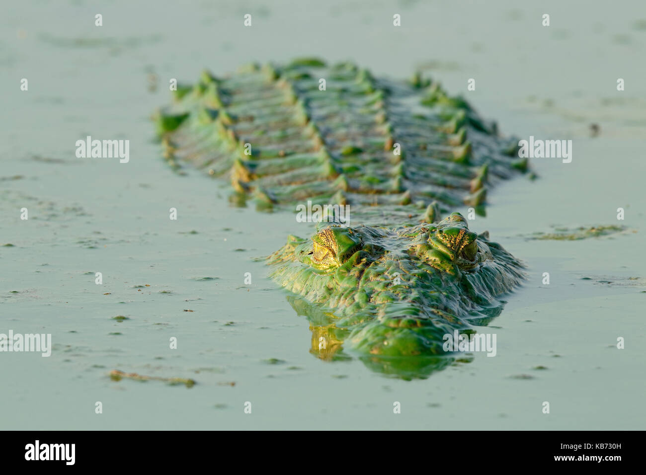 Nile Crocodile (Crocodylus niloticus) floating on water surface. The animal has a green color because of the algae - Stock Image