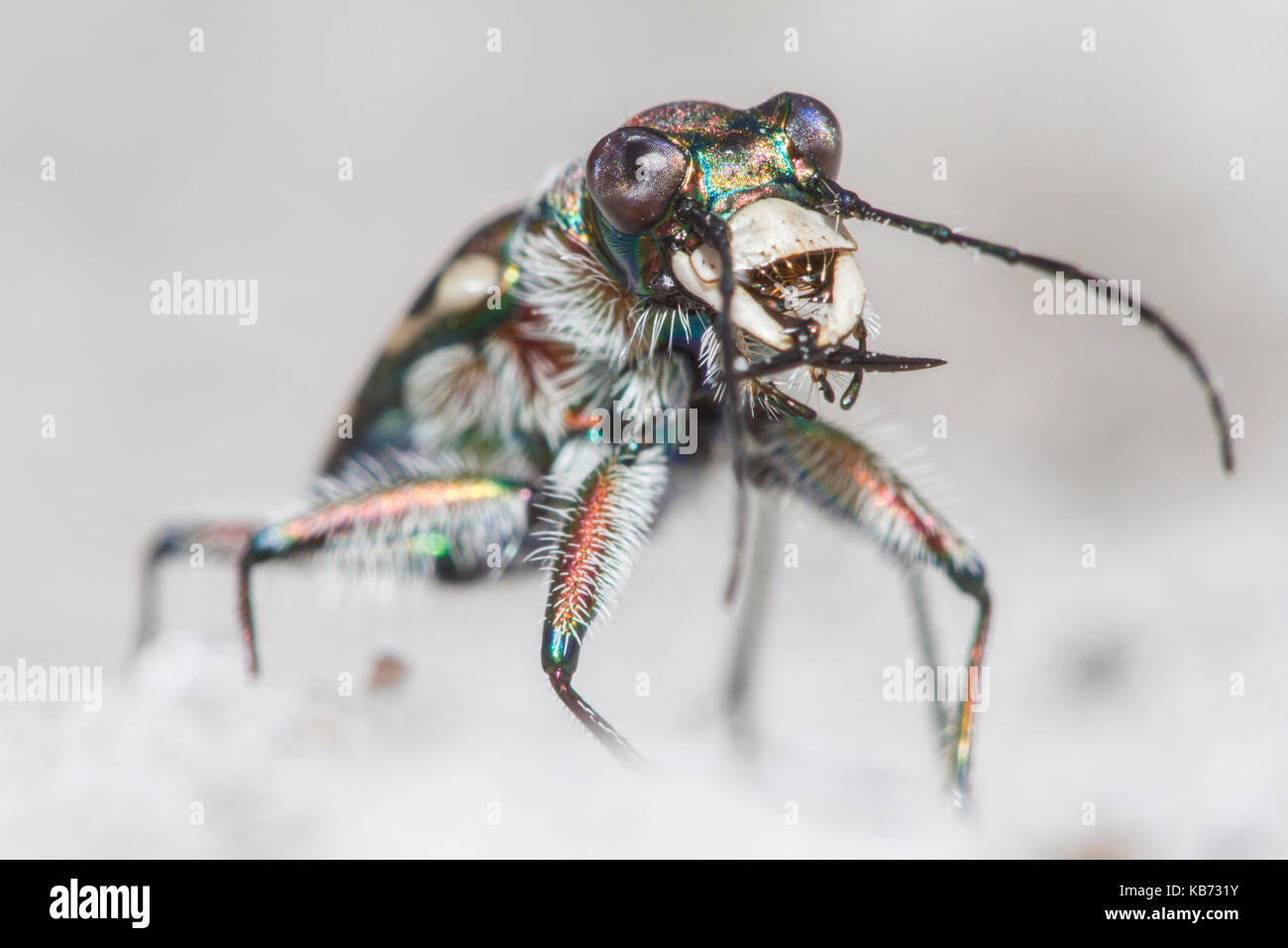 Front view of a Northern Dune Tiger Beetle (Cicindela hybrida), the Netherlands, Limburg, Brunssummerheide - Stock Image