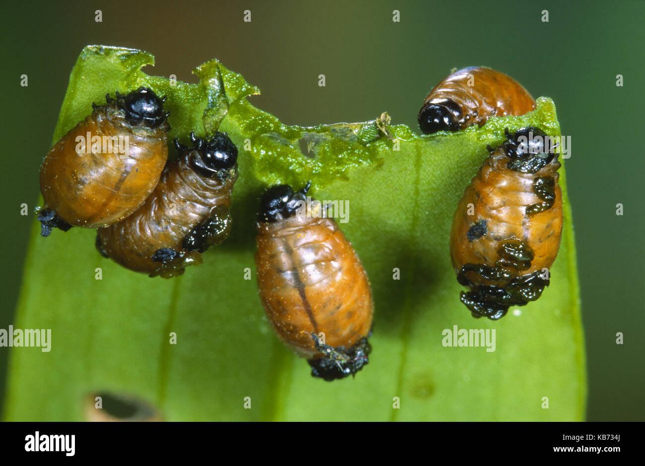 Scarlet Lily Beetle (Lilioceris lilii) larvae feeding on a leaf, Belgium - Stock Image