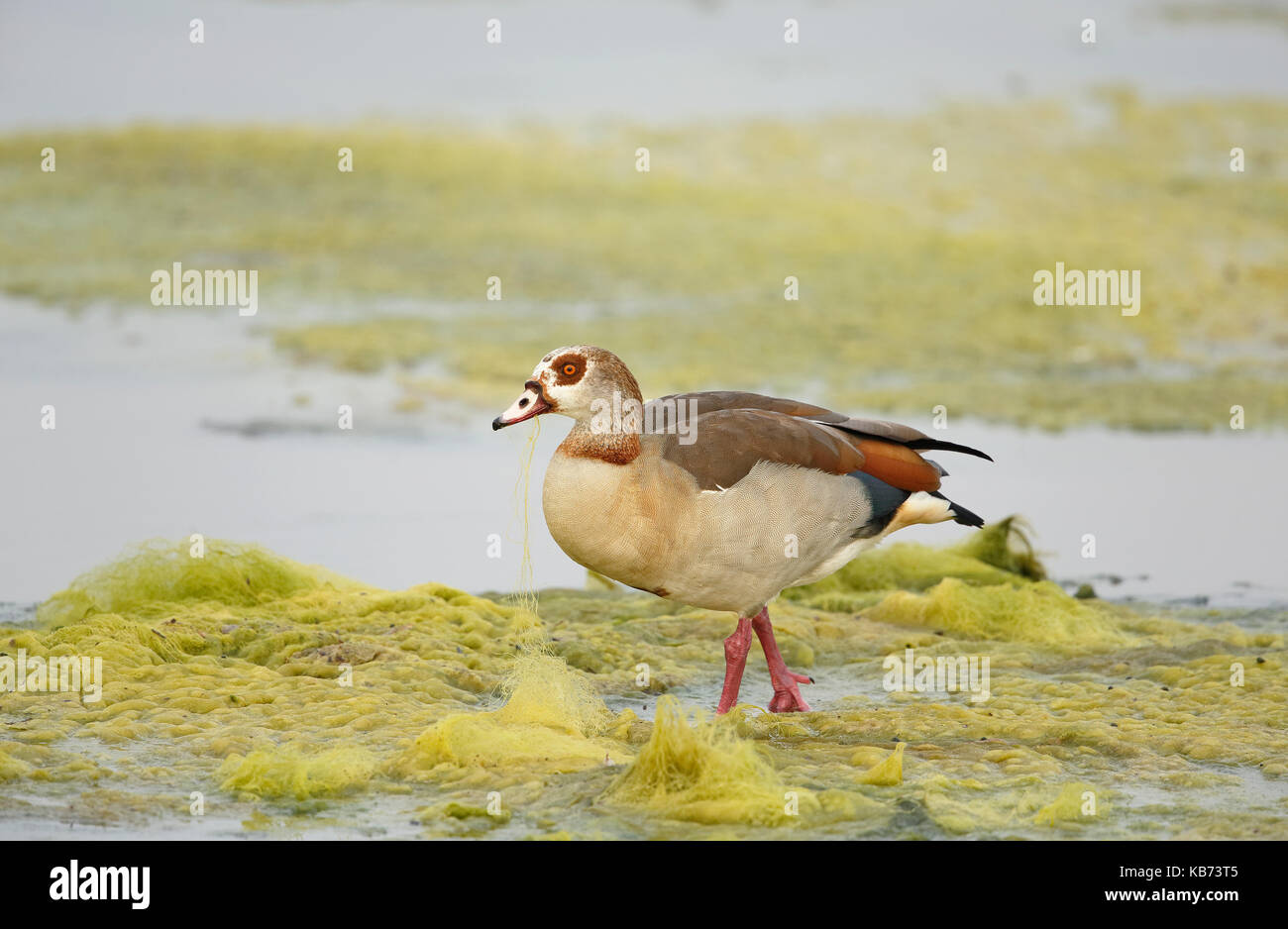 Egyptian Goose (Alopochen aegyptiacus) feeding on aquatic vegetation, South Africa, Mpumalanga, Kruger National - Stock Image