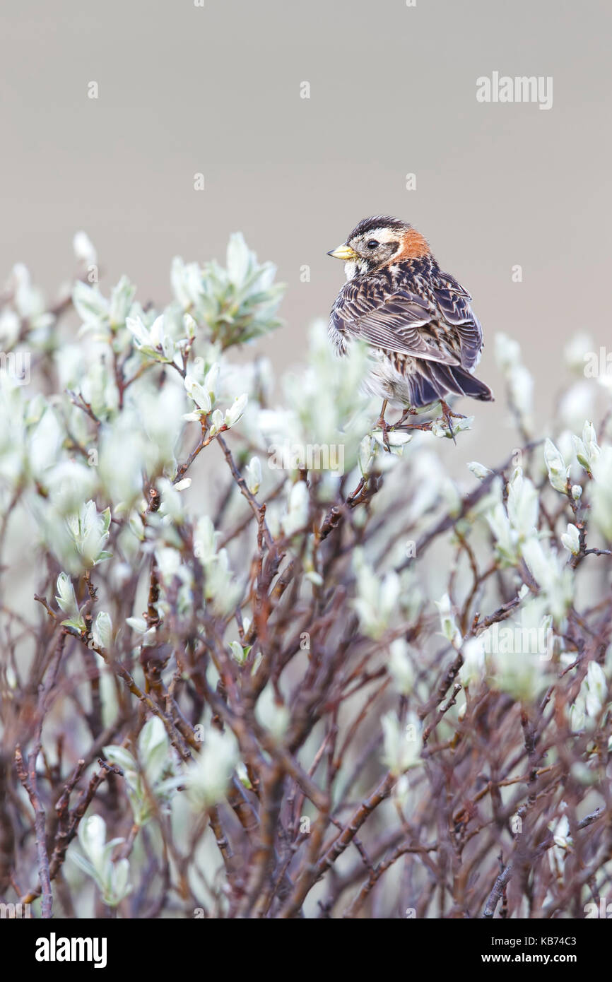 Lapland Bunting (Calcarius lapponicus) adult female in breeding plumage perched on a plant, Norway, Sor Trondelag - Stock Image