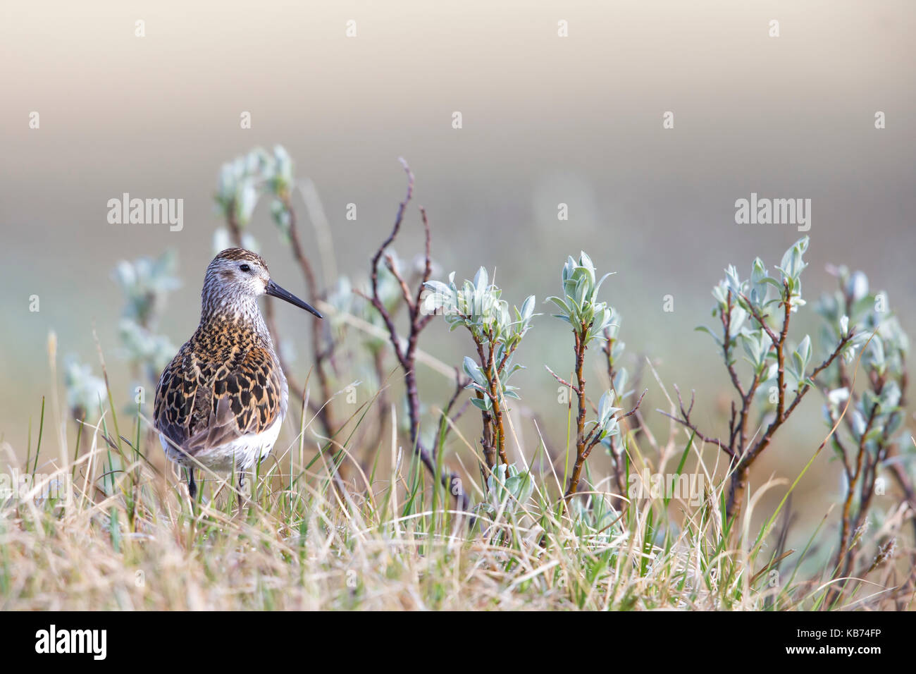Dunlin (Calidris Alpina) standing in vegetation, Norway, Sor-Trondelag - Stock Image