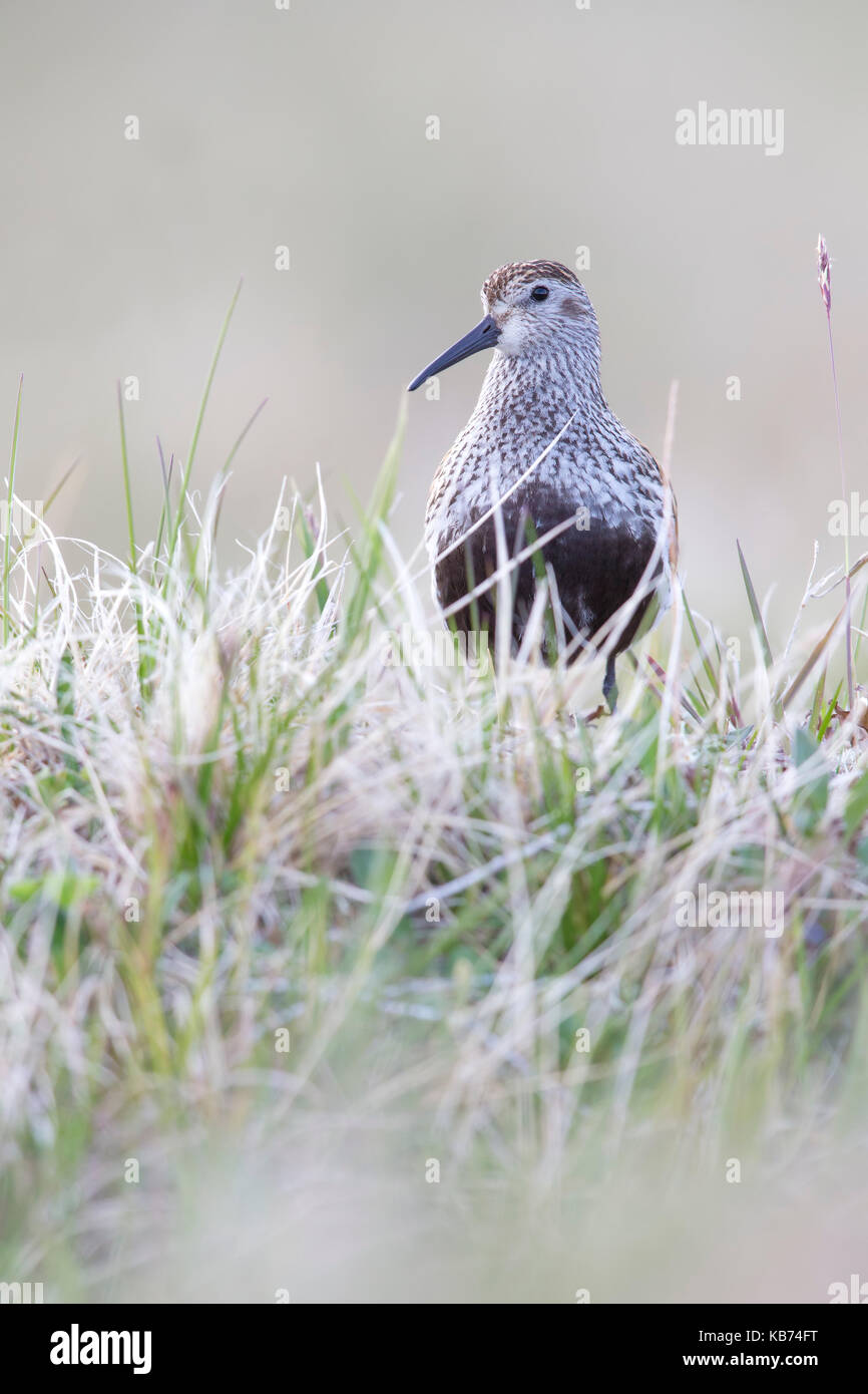 Dunlin (Calidris Alpina) standing in vegatation, Norway, Sor-Trondelag - Stock Image