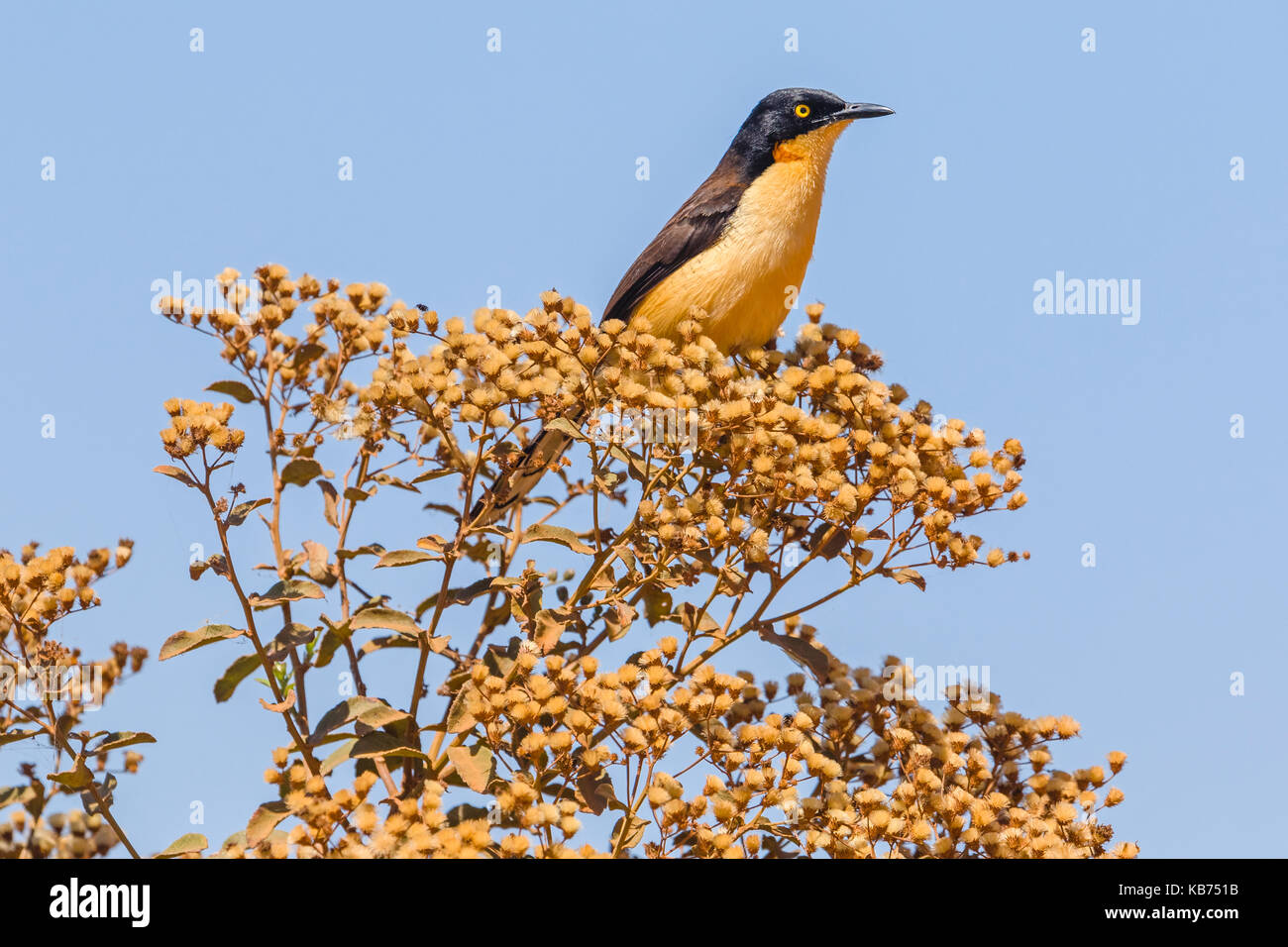 Black-capped Donacobius (Donacobius atricapillus) resting on a bush, Brazil, Mato Grosso, Pantanal - Stock Image