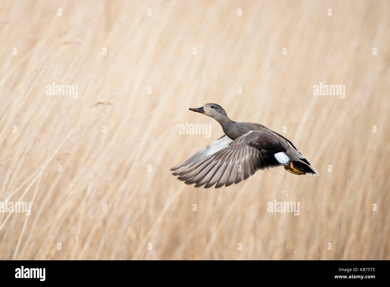 Gadwall (Anas strepera) male flying against a reed background, The Netherlands, Friesland, Ameland - Stock Image