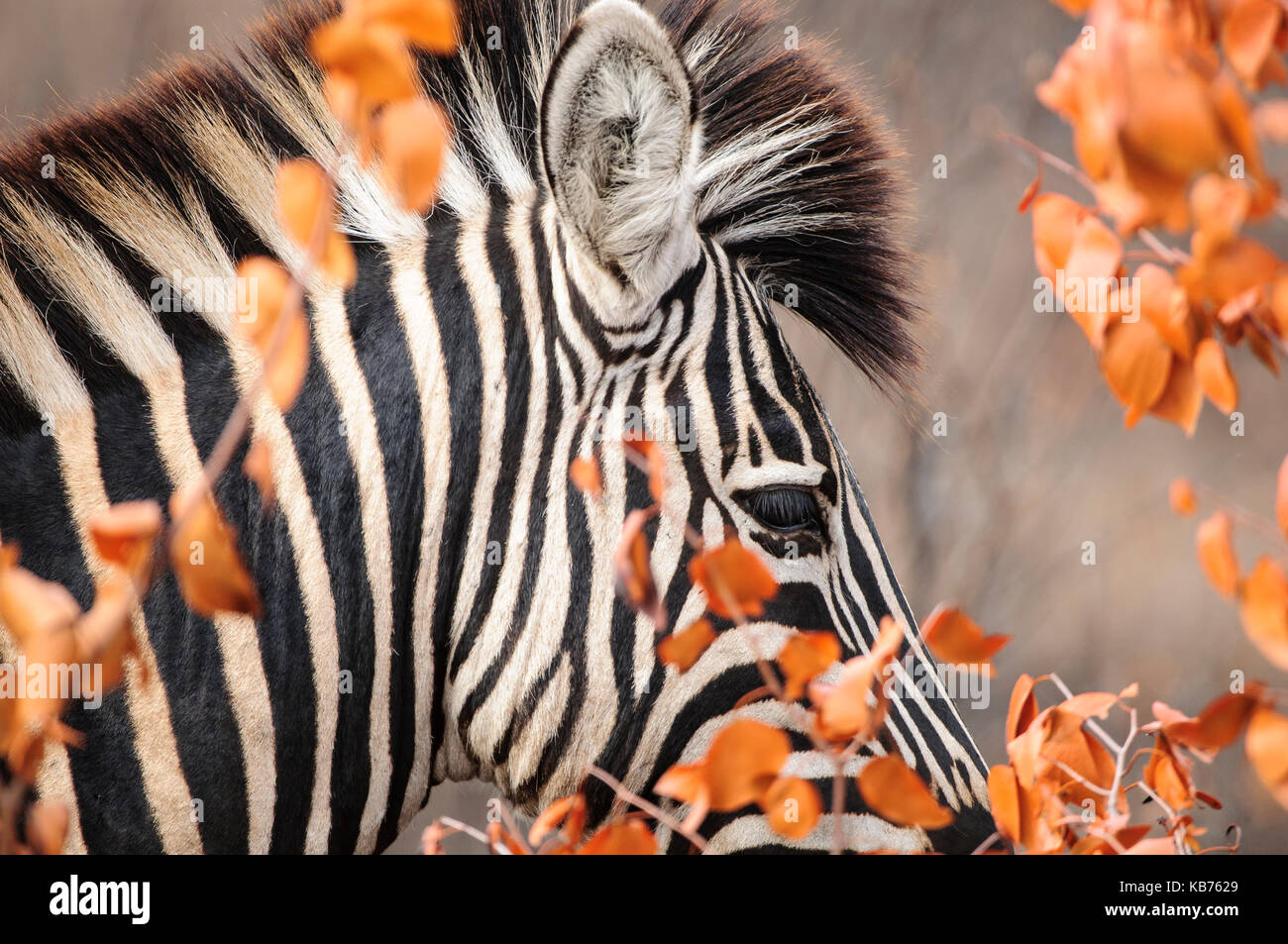 Plains Zebra (Equus quagga) portrait behind dry Mopane leaves (Colophospermum mopane), South Africa, Limpopo, Kruger - Stock Image