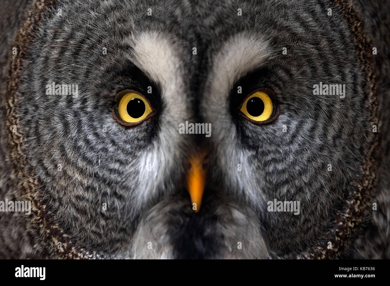 Great Grey Owl (Strix nebulosa) close up portrait, Germany - Stock Image