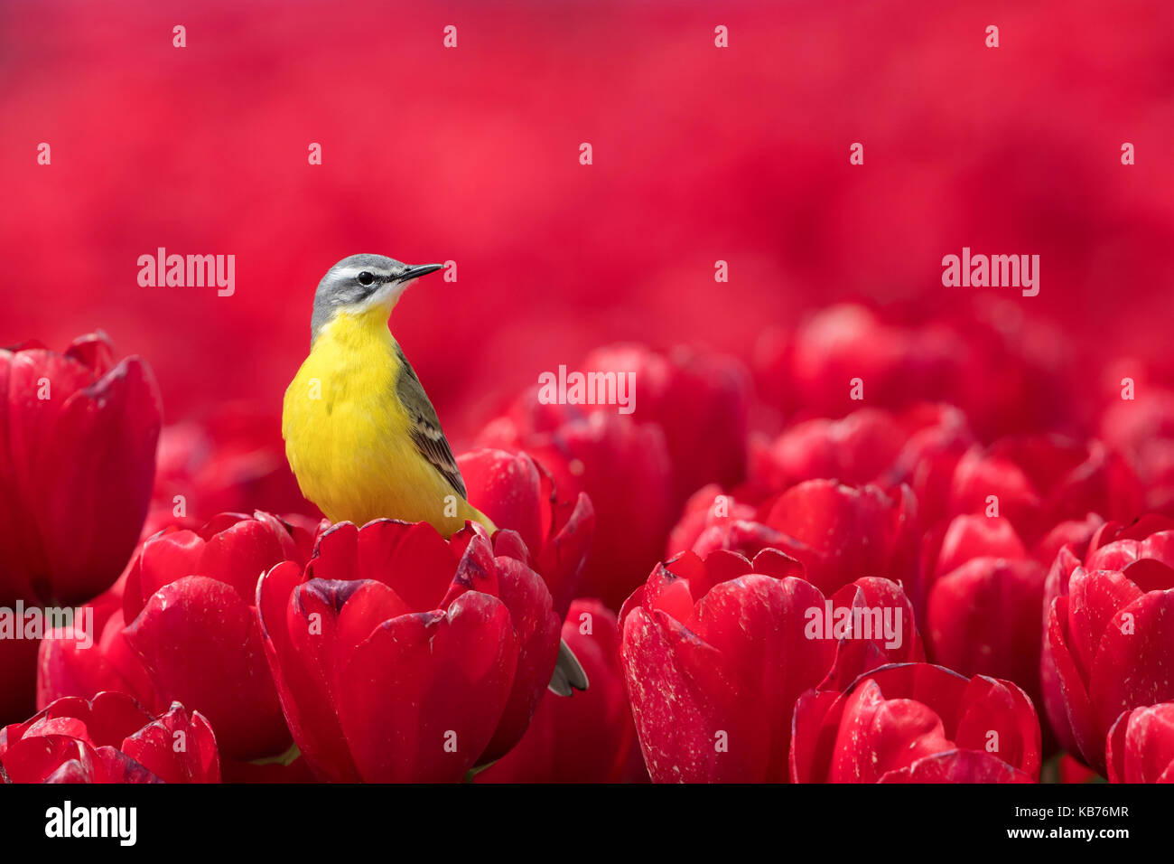 Yellow Wagtail (Motacilla flava) male in a field of red tulips, The Netherlands, Flevoland - Stock Image