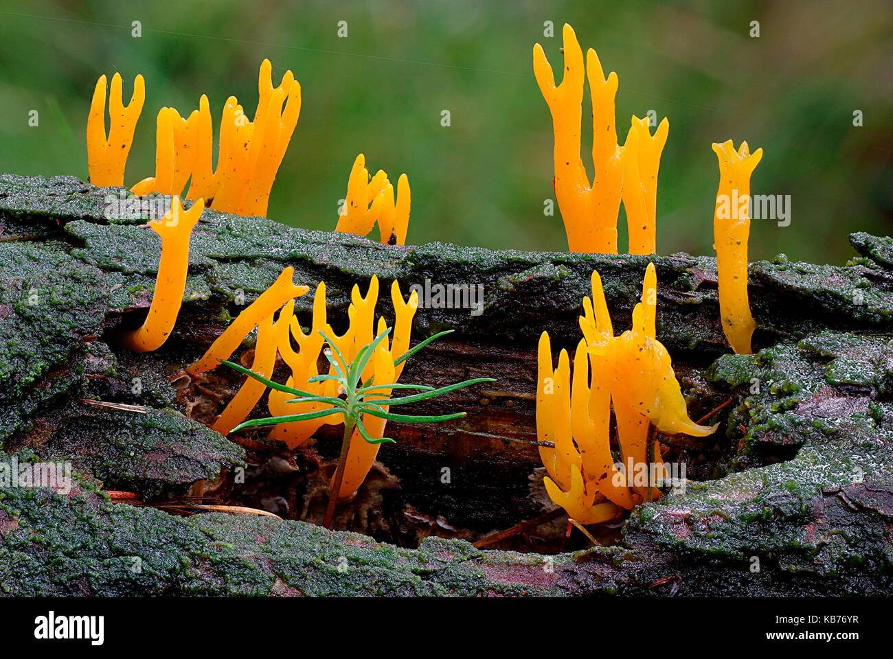 Yellow Staghorn Fungus (Calocera viscosa) growing on dead tree, The Netherlands, Drenthe, Oosterzand - Stock Image