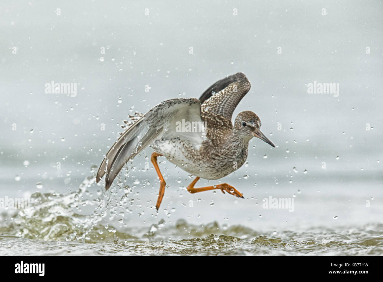 Common Redshank (Tringa totanus) jumping around in shallow water, The Netherlands, Wieringermeer - Stock Image