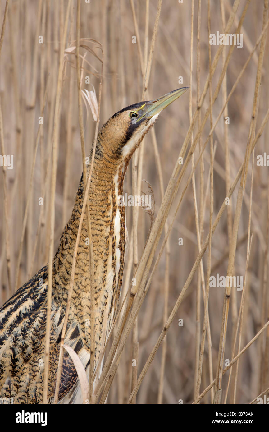 Great Bittern (Botaurus stellaris) standing between the reeds, The Netherlands, Overijssel - Stock Image