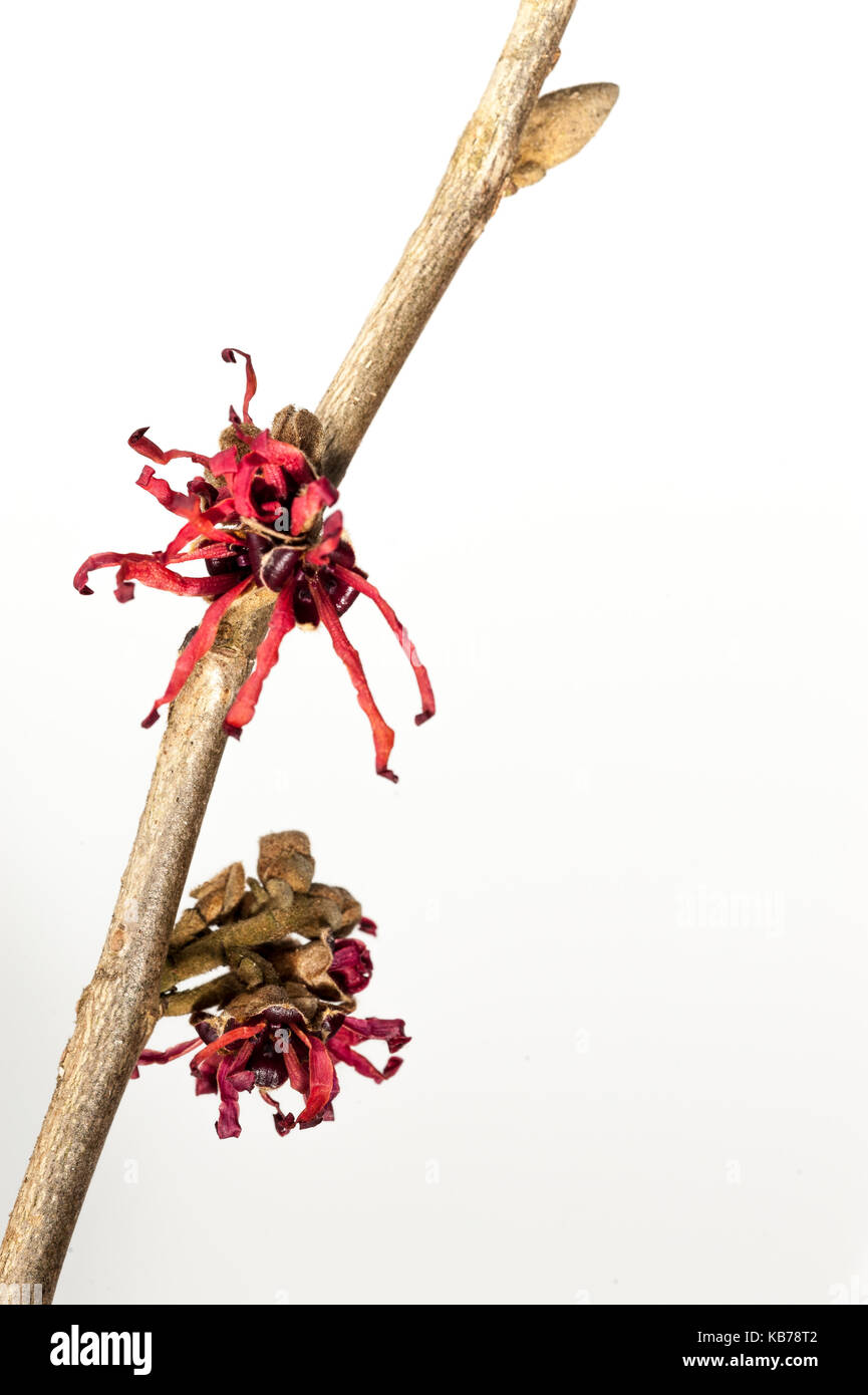 Witch Hazel (Hamamelis intermedia) flowering, Belgium, Antwerp, Merksplas, Arboretum - Stock Image