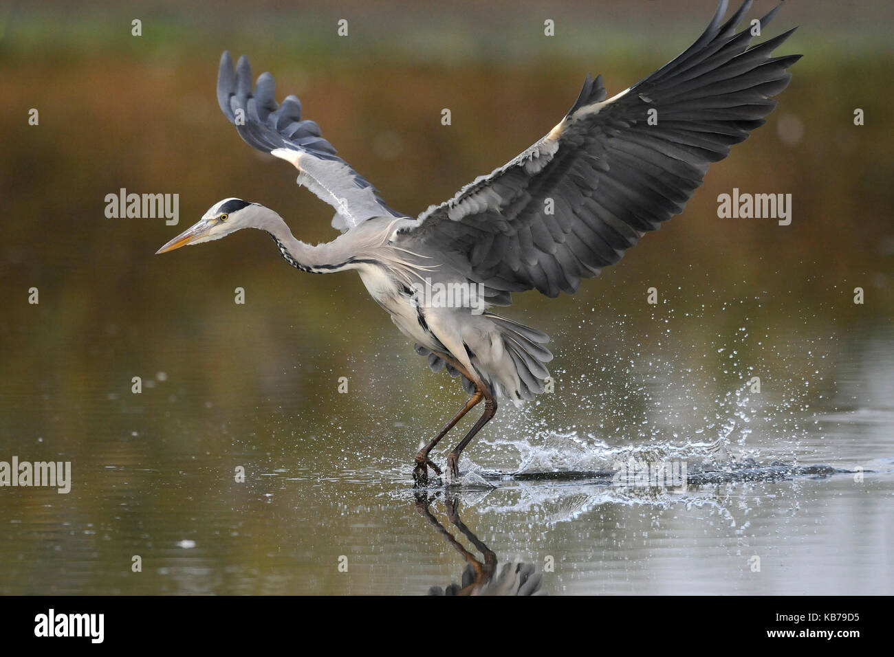 Grey Heron (Ardea cinerea) in flight, hunting, The Netherlands - Stock Image