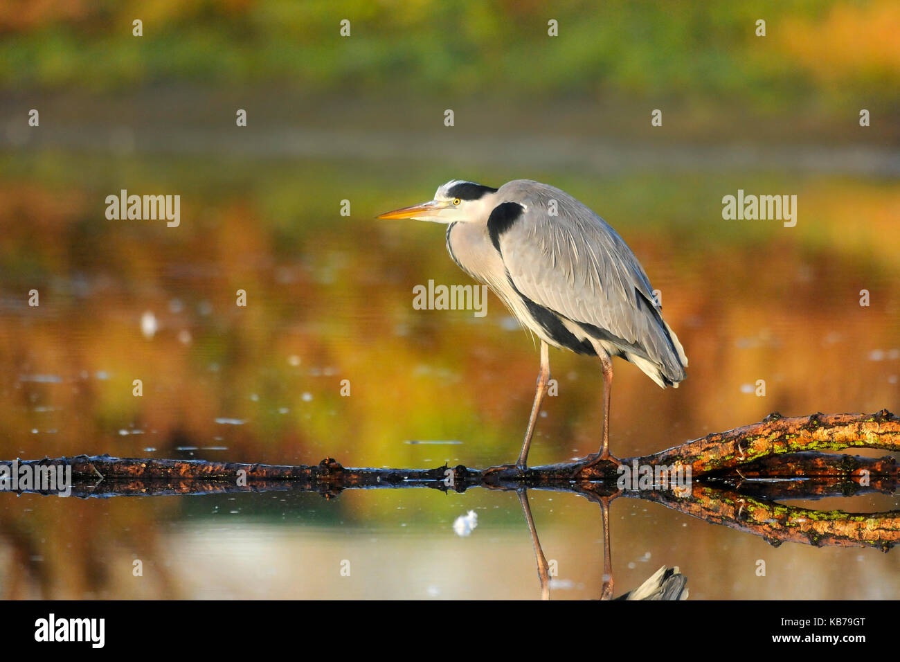 Grey Heron (Ardea cinerea) standing on a branch in the water, hunting, The Netherlands - Stock Image