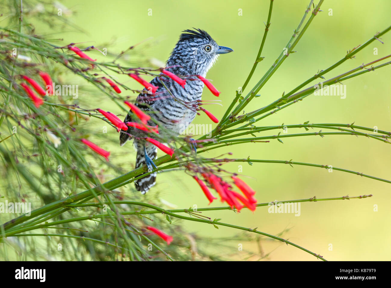 Male of Barred Antshrike (Thamnophilus doliatus) perched on flowering branch, Brazil, Mato Grosso, Chapada dos Guimaraes - Stock Image