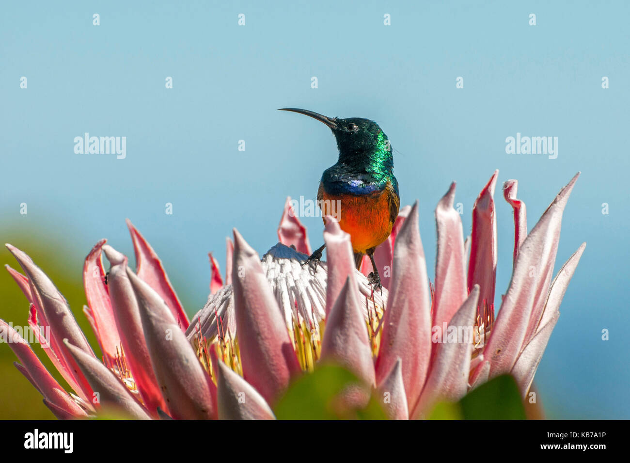 Orange-breasted Sunbird (Anthobaphes violacea) male on Giant Protea (Protea cynaroide), South Africa, Western Cape, - Stock Image