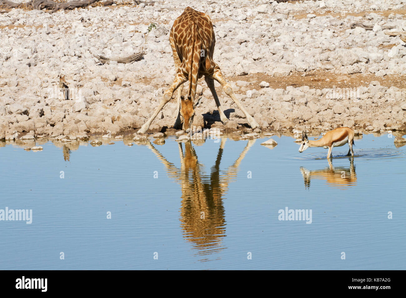 Southern Giraffe (Giraffa camelopardalis giraffa) and Springbok (Antidorcas marsupialis) drinking at waterhole with - Stock Image