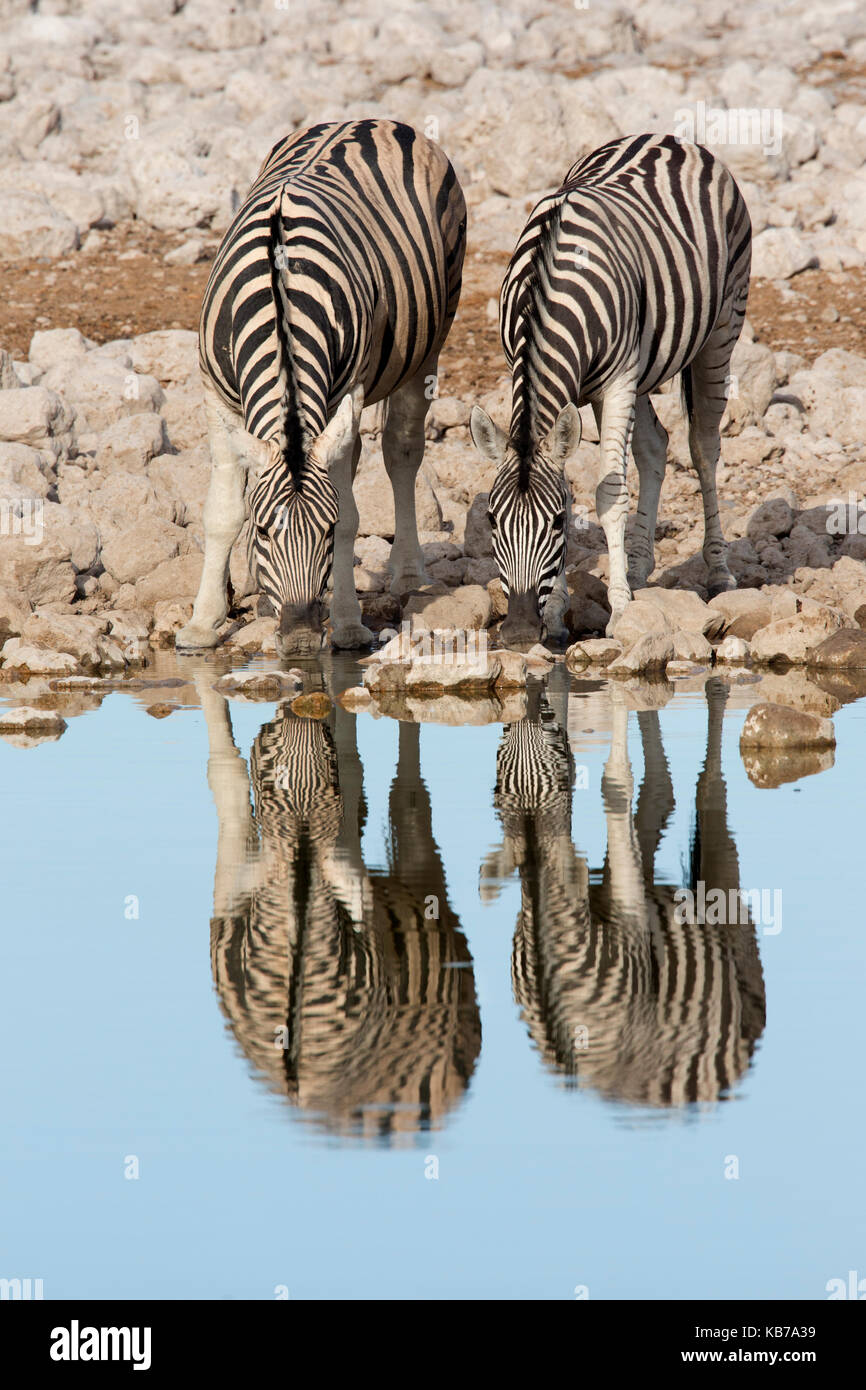 Pair of Burchell's Zebra (Equus quagga burchellii) standing at water's edge to drink with their reflections - Stock Image