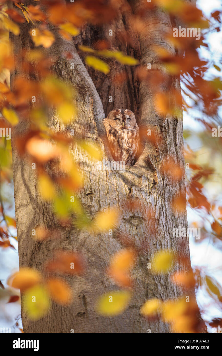 One Towny Owl (Strix aluco) perched in a cavity of a Common Beech (Fagus sylvatica) with autumn coloured leafes - Stock Image