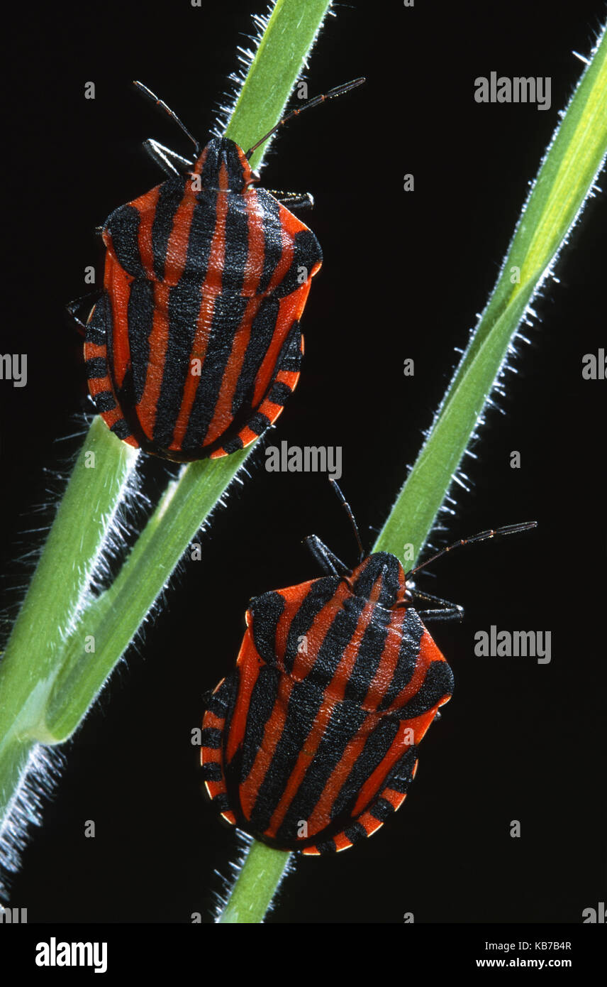 Italian Striped-bugs (Graphosoma italicum) on a plant stem against a black background, Belgium - Stock Image