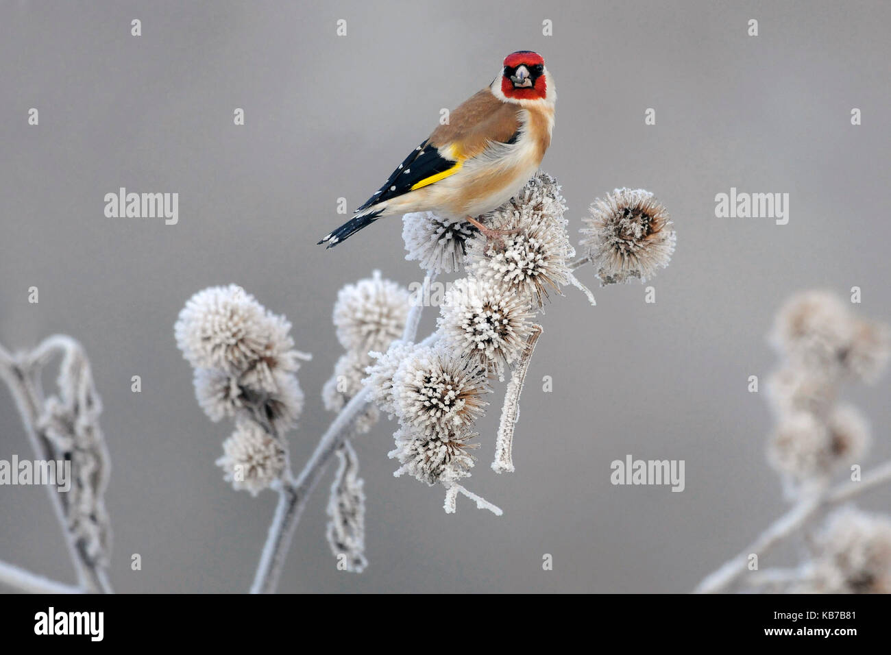 European Goldfinch (Carduelis carduelis) foraging on the seeds of a Burdock (Arctium sp.) thistle, The Netherlands - Stock Image