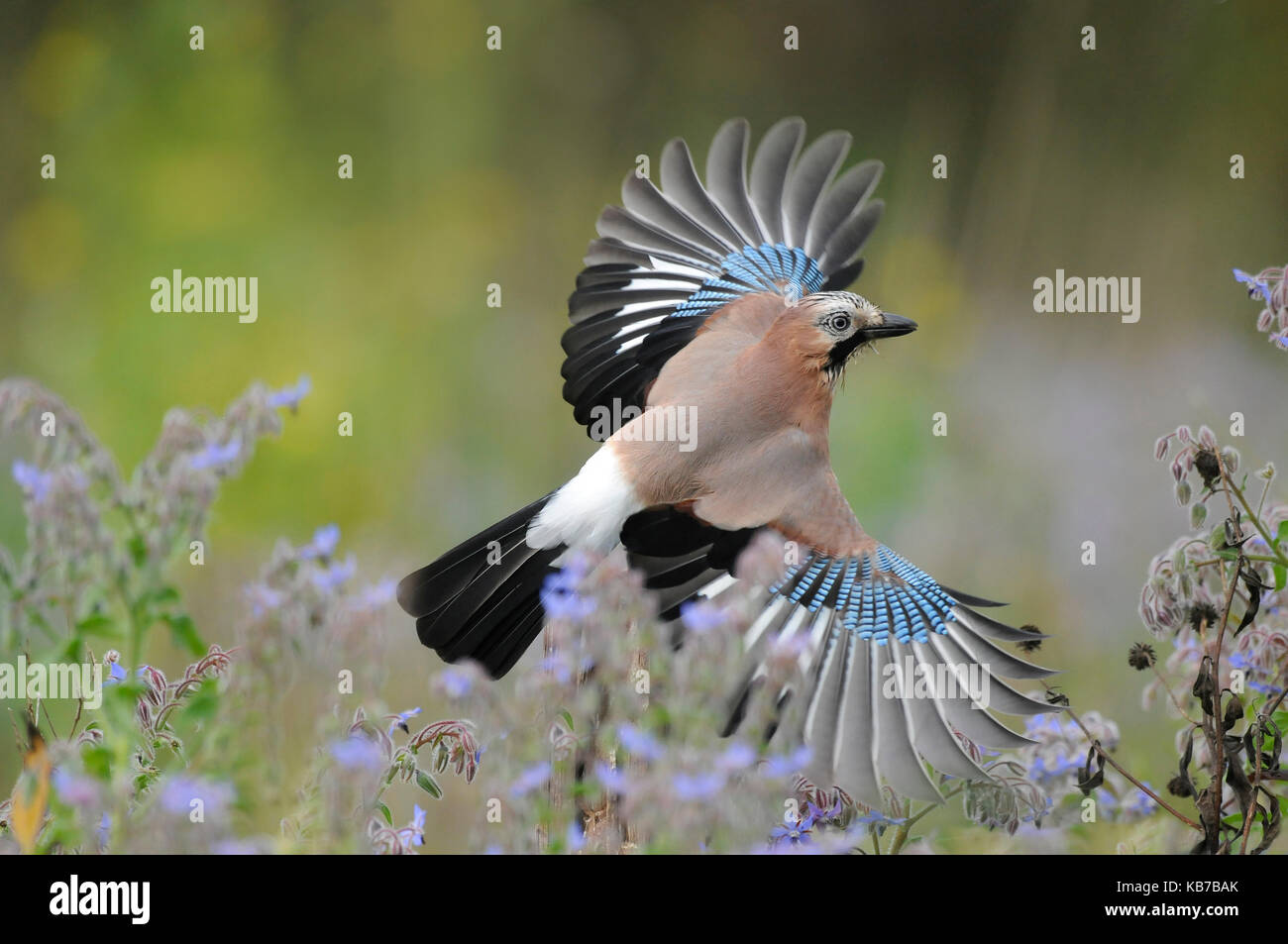 Eurasian Jay (Garrulus glandarius) flying, The Netherlands - Stock Image
