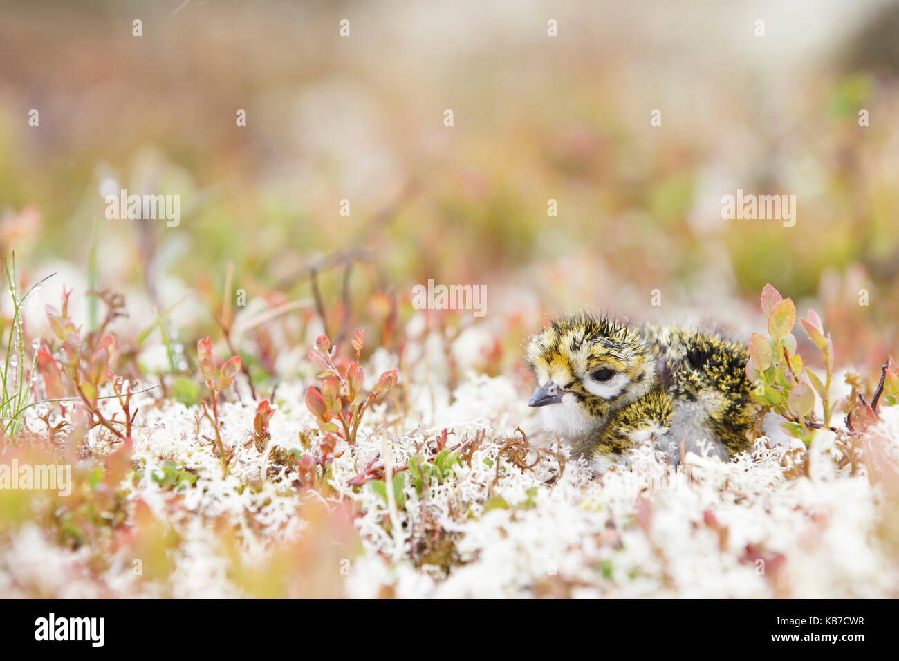 European Golden Plover (Pluvialis apricaria) young hiding in vegetation, Norway, Sor-Trondelag - Stock Image