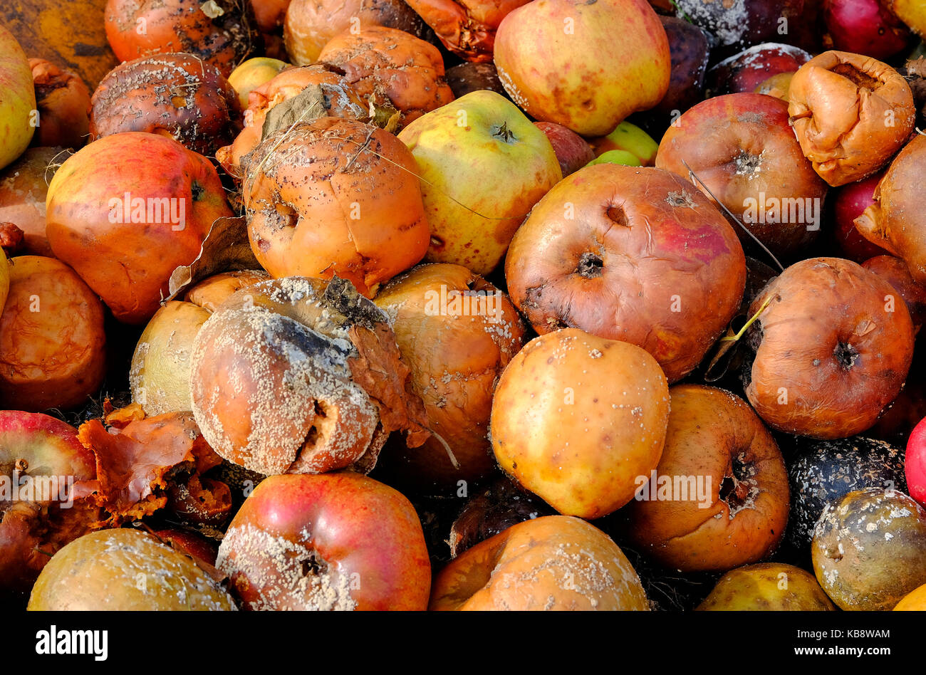 rotting decayed windfall apples - Stock Image