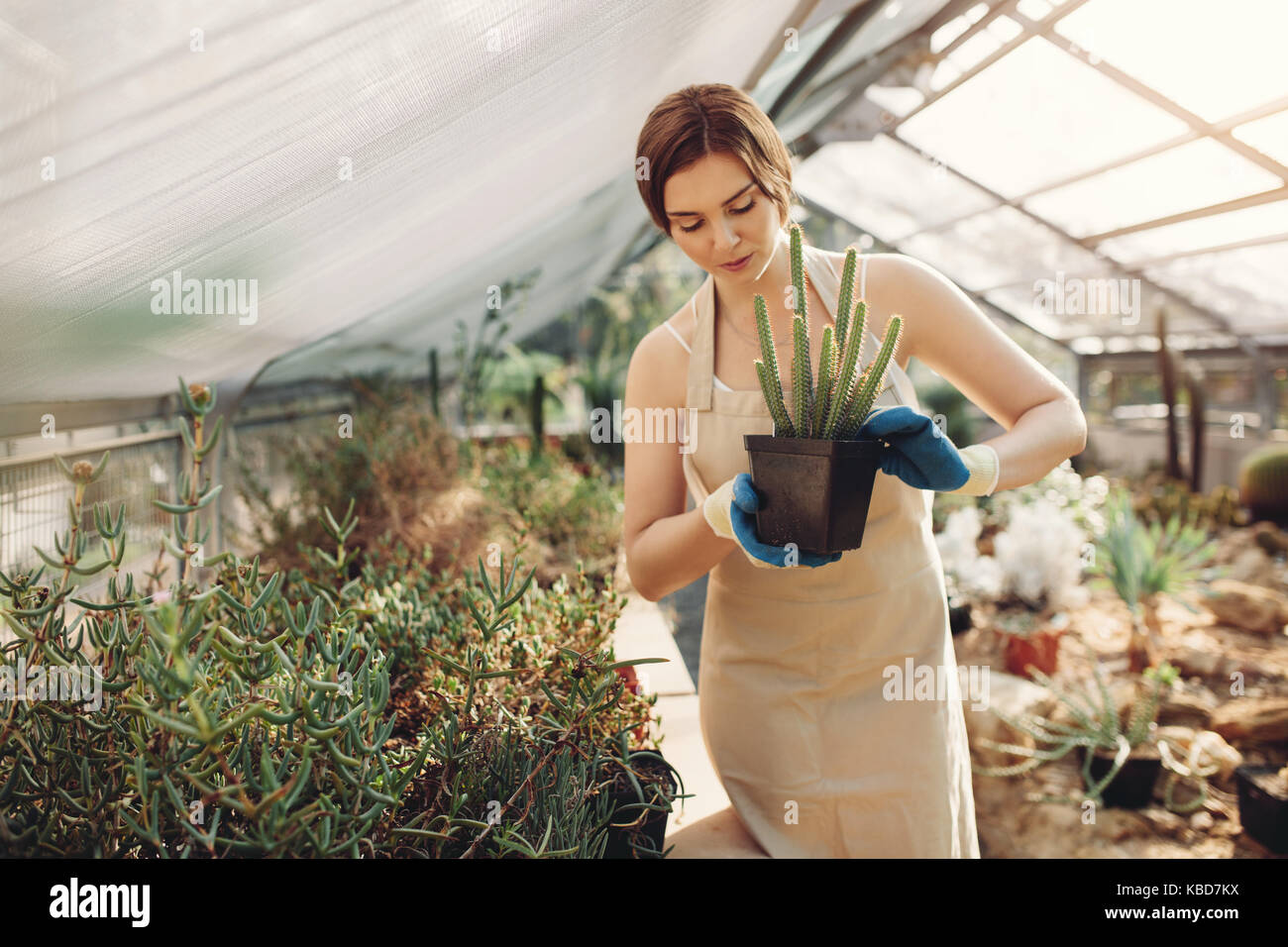 Shot of young woman holding a cactus potted plant in greenhouse. Beautiful gardener holding a potted cactus at plant - Stock Image