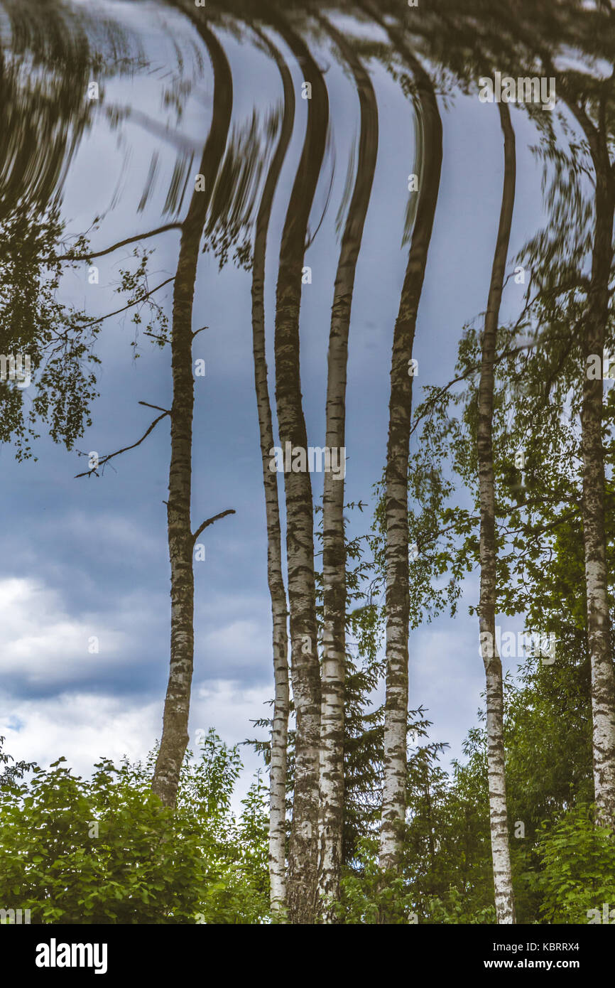 Upside down birch trees in summer - Stock Image