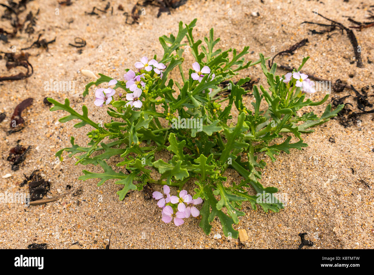 small-purple-flowers-growing-in-sand-on-