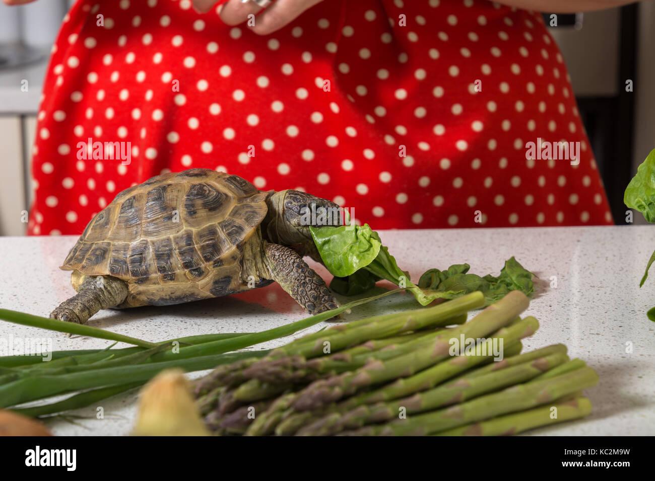 Cute tortoise feasting on salad - Stock Image