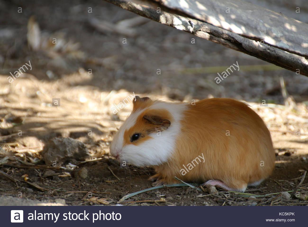 Guinea pig - cavia porcellus - Stock Image