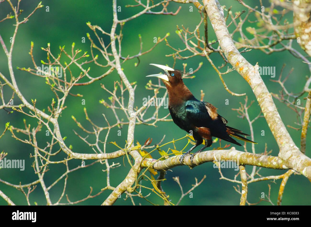 Chestnut-headed oropendola big bird on a tree branch - Stock Image
