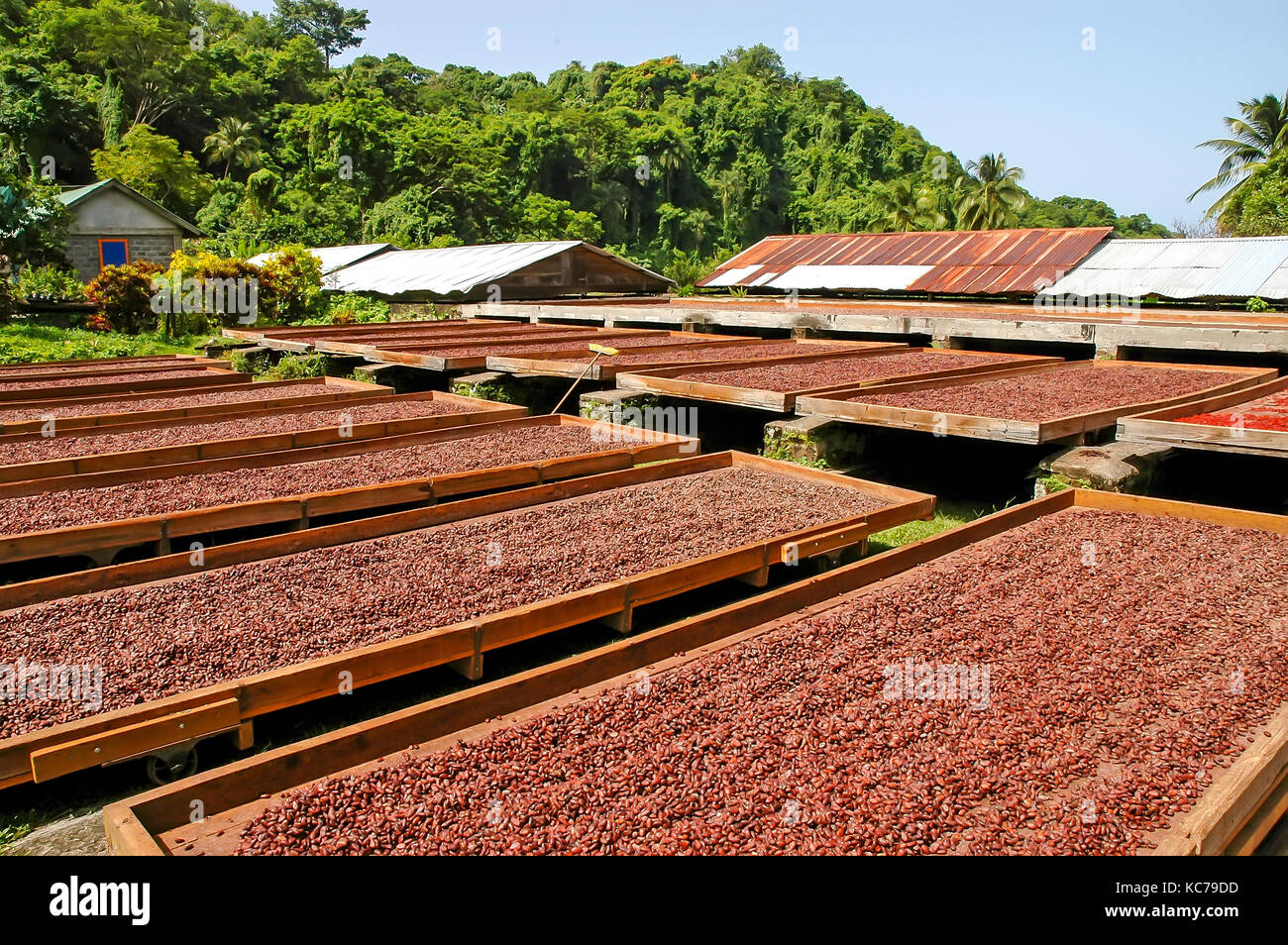 Cocoa beans drying in the sun on large trays at Belmont Estate Grenada - Stock Image