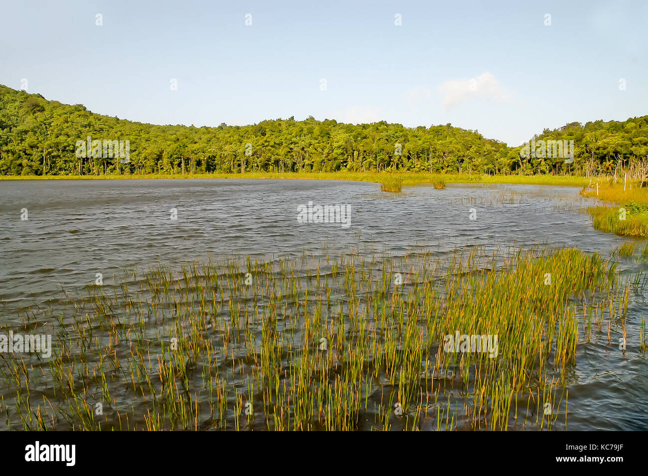 Grass reeds growing in Grand Etang Lake, Grand Etang National Park and Forest Reserve, Grenada - Stock Image