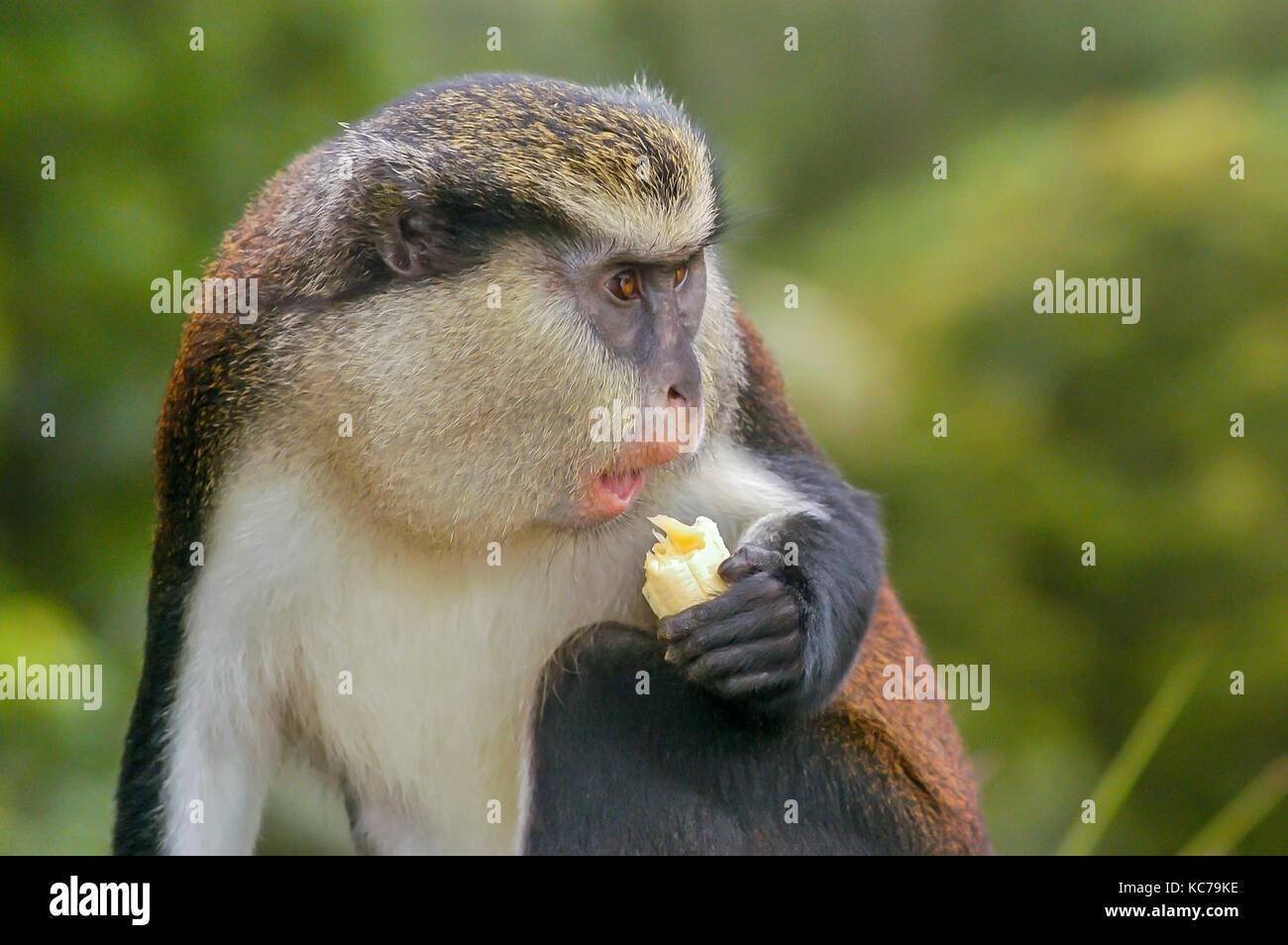 Mona monkey eating banana in Grand Etang National Park and Forest Reserve Grenada - Stock Image