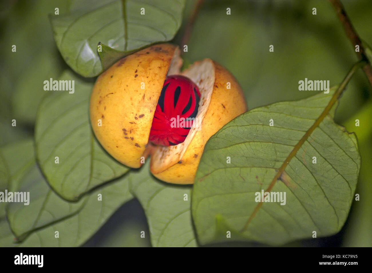 Detail ripe numeg on tree split open split open showing red mace covering the nut, Grenada - Stock Image