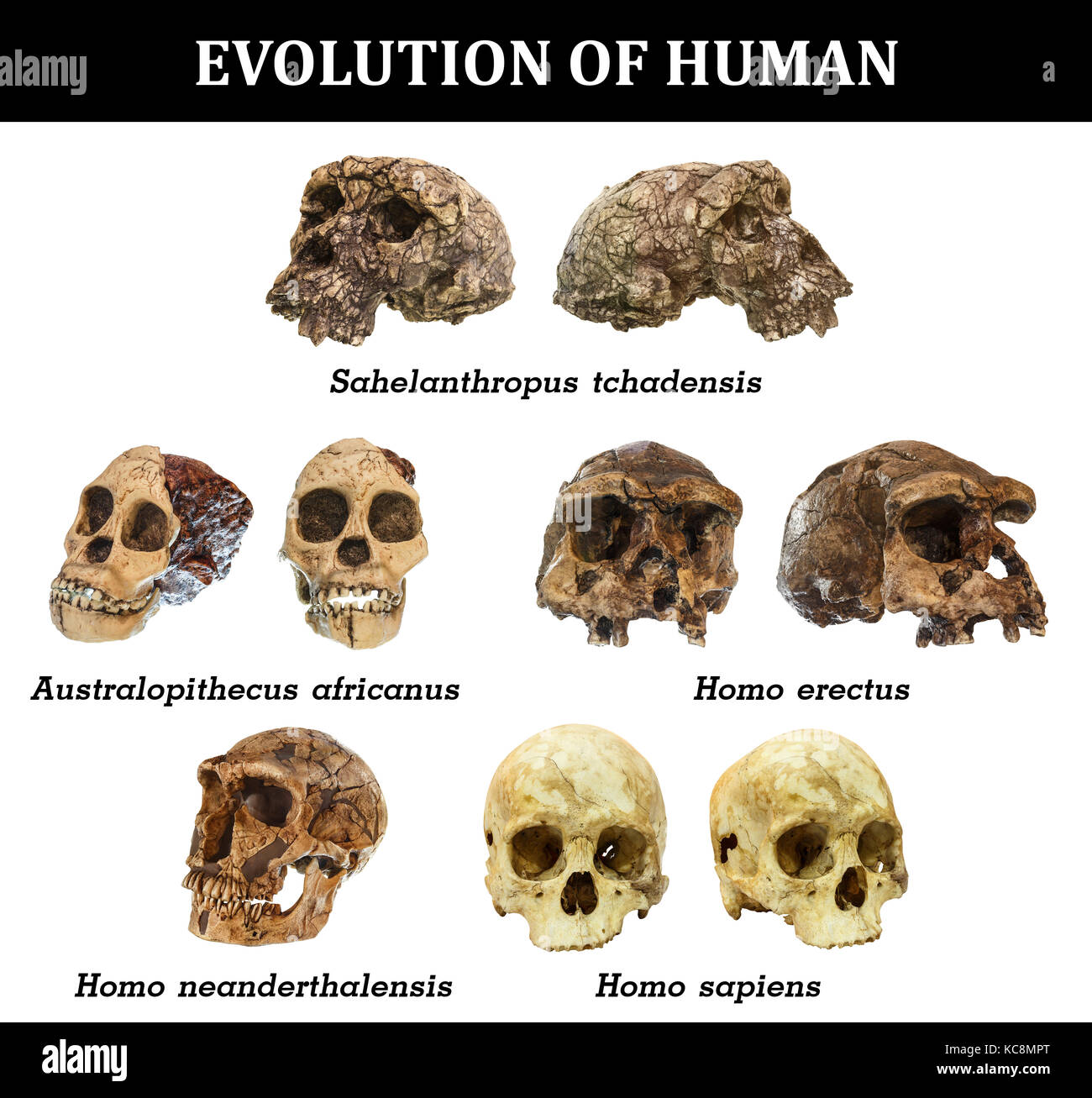 Comparison between Neanderthals and Homo Sapiens