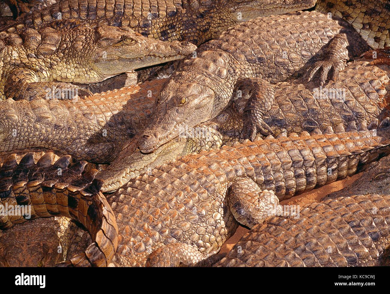 Zimbabwe. Wildlife. Nile Crocodiles farm. - Stock Image
