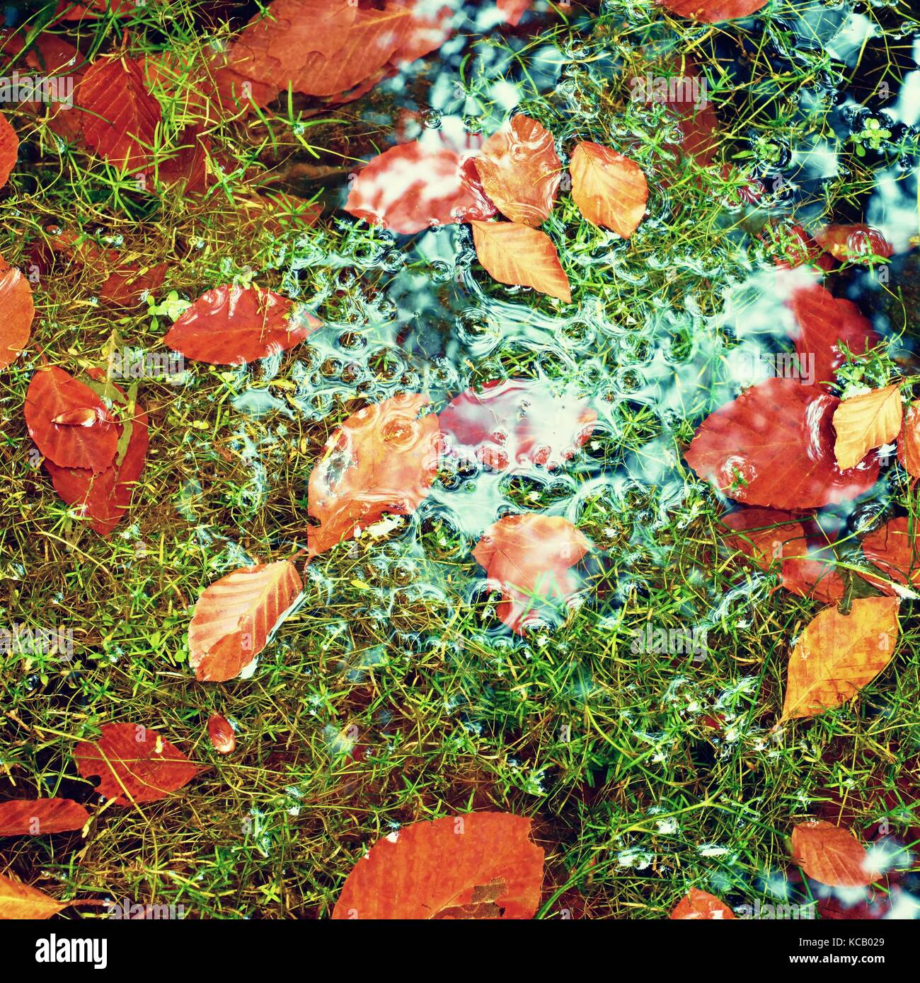 Algae with caught fallen  leaves  on basalt gravel in mirrored water of mountain stream. Vivid colorful leaves  - Stock Image