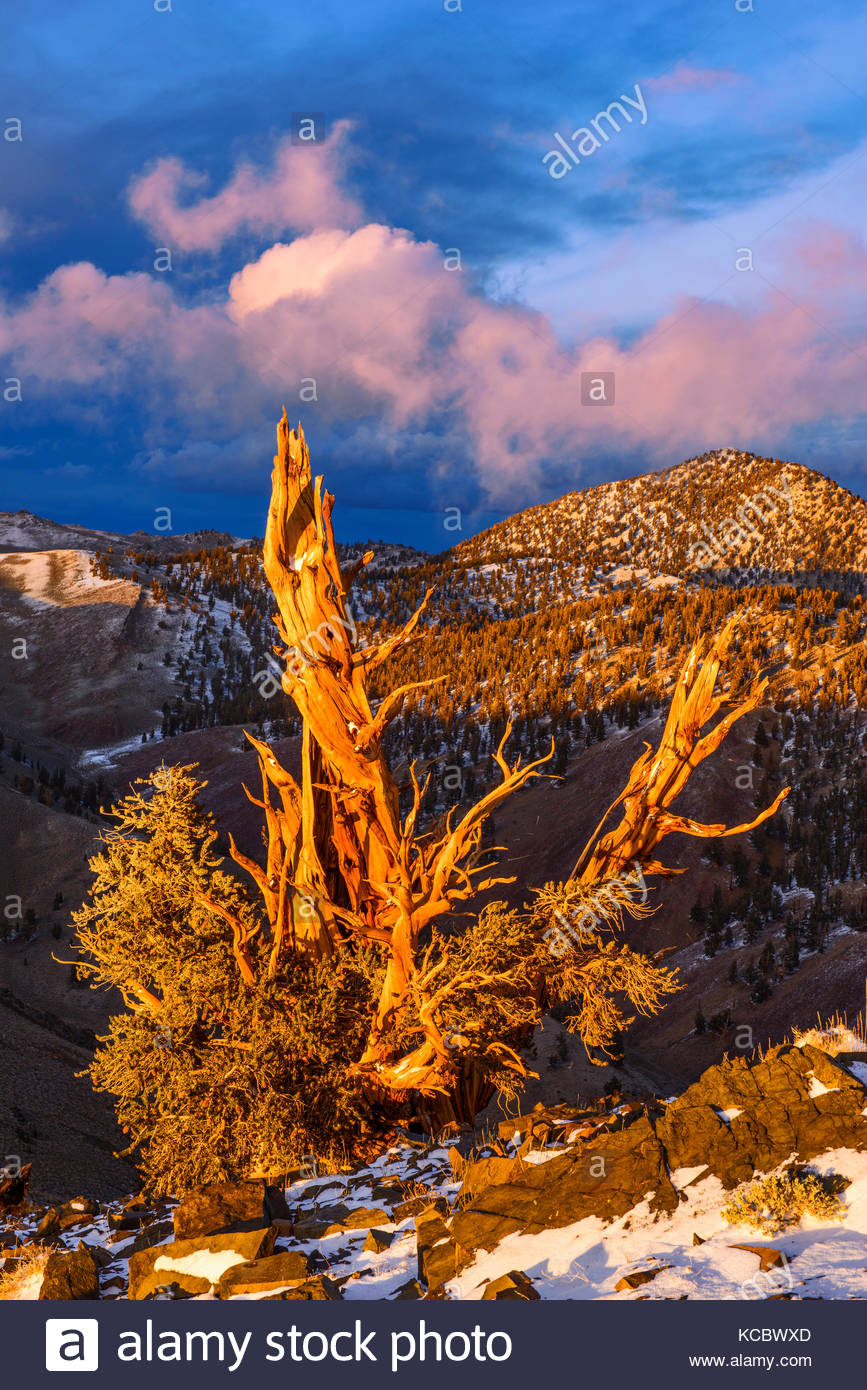 Clearing Storm and Sunset Glow on of Ancient Bristlecone Pine, The White Mountains, Inyo National Forest, California - Stock Image