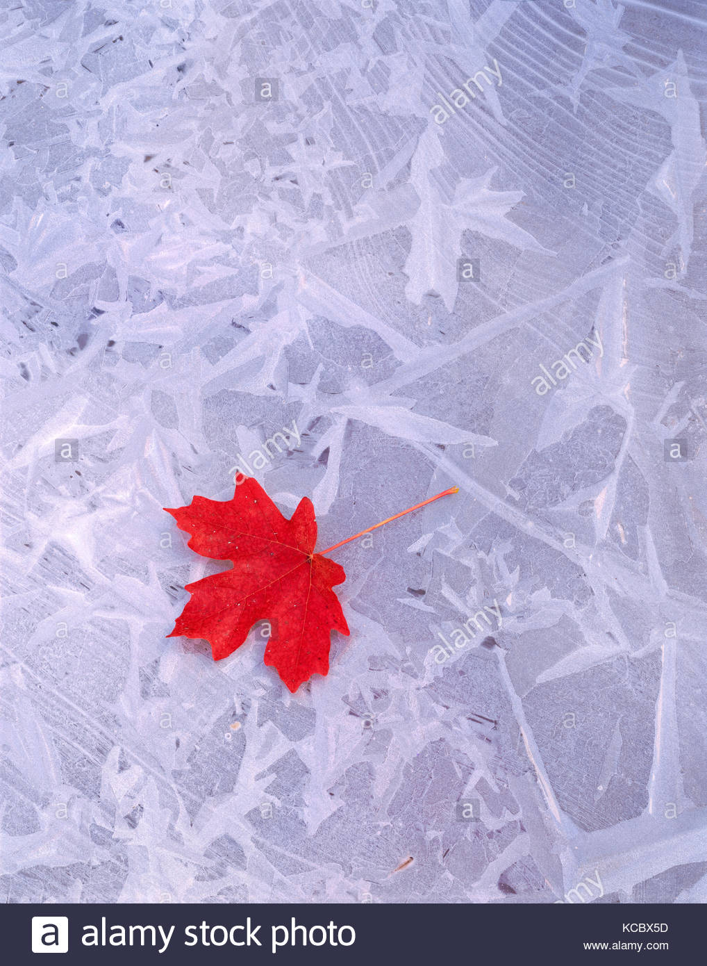 Bigtooth Maple Leaf on Ice, Zion National Park, Utah - Stock Image